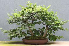carpinus japonica (Carpe japonés)