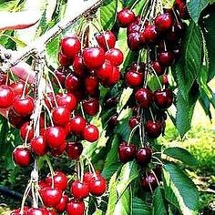 How to grow cherry tree from seeds.