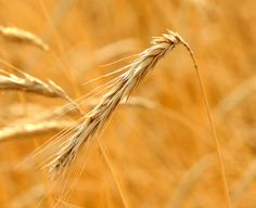 Wheat head ready for harvest. The kernel itself is also called the berry. There are about 50 kernels in every head of wheat. When you are giving thanks for your daily bread include the Sumerians who first farmed wheat in the Fertile Crescent.