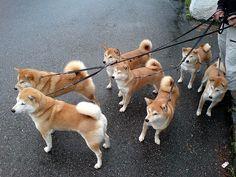 So many shibas. I want them all!!