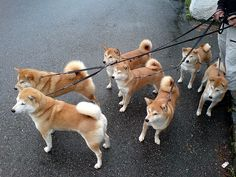 So many shibas. I want them all!!
