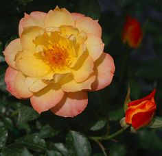 "OSO EASY® Italian Ice Rose-Disease Resistant/Fragrant/Rebloomer-Proven Winners - 4"" Pot $11.99"