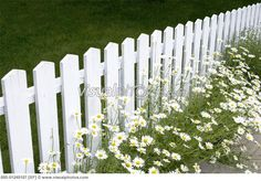 Daisies and White Picket Fence
