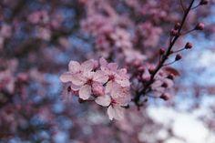 Cherry blossoms + sky.