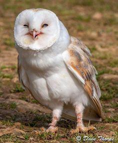Barn Owl por cyberflix em Flickr