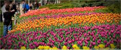 tulip Festival #ottawa