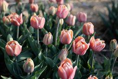 Většina květin není nikdy složená jen z jednoho odstínu barvy a u tulipánu La Belle Epoque to platí dvojnásob. Nádherné jemné odstíny lososové, starorůžové, kávové až po pudrovou. Princezna mezi tulipány. Belle Epoque, Flowers, Plants, Plant, Royal Icing Flowers, Flower, Florals, Floral, Planets
