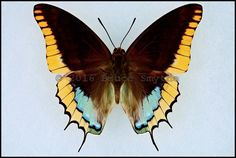 Charaxes Jasius Epijasius -Male -Central African Republic in wingspan) Butterfly Painting, Butterfly Watercolor, Butterfly Crafts, Butterfly Wings, Most Beautiful Butterfly, Beautiful Bugs, Butterfly Images Photography, Cool Insects, Butterfly Species