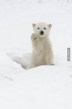 """High Five"" - baby polar bear cub, Manitoba, Canada Cute Creatures, Beautiful Creatures, Animals Beautiful, Cute Baby Animals, Animals And Pets, Funny Animals, Wild Animals, Baby Polar Bears, Polar Bear Paw"