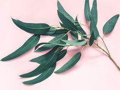 7 Impressive Benefits of Eucalyptus Leaves Lemon Eucalyptus Oil, Dried Eucalyptus, Eucalyptus Essential Oil, Plant Insects, List Of Flowers, Dry Leaf, Healing Herbs, Growing Plants, Plant Leaves