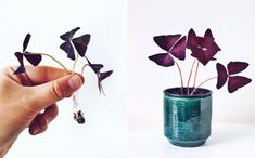 Oxalis Triangularis: Tips til pasning af Sommerfuglekløver Air Plants, Potted Plants, Garden Plants, Indoor Plants, Easy Garden, Lawn And Garden, Indoor Garden, Ficus Bonsai, Oxalis Triangularis