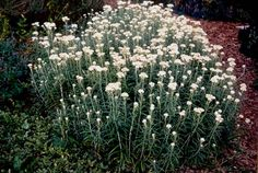 Growing perennials for cut flowers is a wonderful thing to do in the garden and this list contains the most commonly used plants. Description from floweautiful.com. I searched for this on bing.com/images