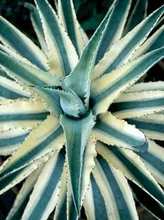Agave 'Cornelius' (Cornelius Century Plant)  Small-ish variegated agave