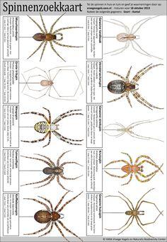 Bij herfst horen spinnen… dit zijn spinnen die in Nederland voorkomen, durf jij ze allemaal op te zoeken?