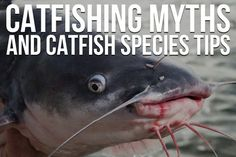 Catfishing myths and species tips. The ultimate list of catfishing tips. How To Catch Catfish, Big Catfish, Catfish Fishing, Fly Fishing Tips, Gone Fishing, Best Fishing, Kayak Fishing, Fishing Boats, Fishing Stuff