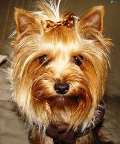 The Yorkshire Terrier is a tan dog with a blue saddle.