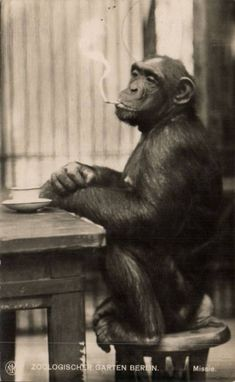 """The Chimp """"Missie,"""" smoking a cigarette at the Berlin Zoo, date unknown."""