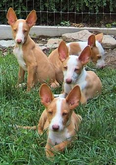 Ibizan Hound puppy. Ibizan Hound dog art portraits, photographs, information and just plain fun. Also see how artist Kline draws his dog art from only words at drawDOGS.com #drawDOGS http://drawdogs.com/product/dog-art/ibizan-hound-dog-portrait-by-stephen-kline/ He also can add your dog's name into the lithograph.