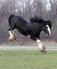 Gypsy Vanner feeling good!!