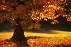 Love me some maple trees