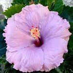 Exotic Hibiscus 'P's Purple'