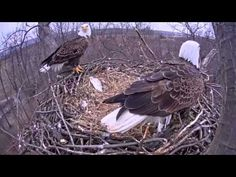 Eagle cam: Eagles swap places after egg hatches at Codorus State Park, Hanover, PA - YouTube