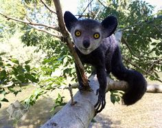 Aye-Aye (Lemur), needle felted Sculpture by FursettoCreations on DeviantArt Broiler Chicken, Snails In Garden, Nothing To Fear, Handmade Wire, Lemur, Funny Photos, Needle Felting, Funny Animals, Fun Facts