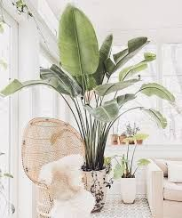 wicker furniture and green plants – RechercheGoogle Exotic Plants, Green Plants, Potted Plants, Indoor Plants Names, Alocasia Plant, Common House Plants, Wonderland, Banana Plants, Woven Chair