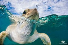 """Squirter"" by wildlife and nature photographer Christian Miller on Photos Sous-marines, Draw On Photos, Nature Photos, Beautiful Creatures, Animals Beautiful, Cute Animals, Reptiles And Amphibians, Mammals, Tortoise Turtle"