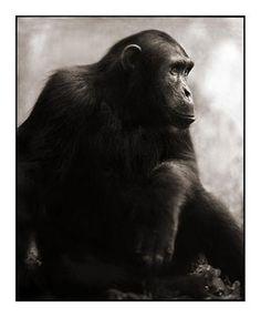 Chimpanzee Posing, Mahale 2003