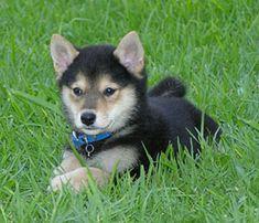 shiba inu puppy!