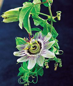 Passion FLower (passiflora) vine.  Annual, full sun, spread 8-12 feet.  Mildly scented, blooms summer thru fall.