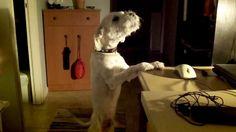 my dog Friksos..he loves..singing