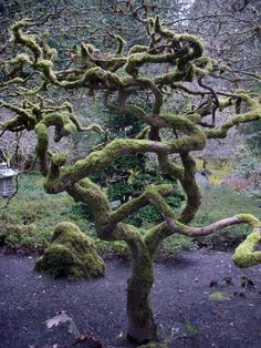 | Japan | Twisted Old Mossy Wonder Of Nature #trees #Japan