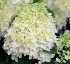 Perennials and annuals aren't the only plants that supply spring color to the garden. Shrubs and foliage plants also add color and interest and are a great way to round out your spring product mix. Smooth Hydrangea, Hydrangea Not Blooming, Hydrangea Tree, Large Flowers, Cut Flowers, Pruning Hydrangeas, Planting Flowers, Hydrangea Quercifolia, Foliage Plants