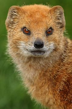 Yellow Mongoose(Cynictis penicillata) photographed by YorkshireWP Animal 2, Mundo Animal, Animal Faces, Animals Of The World, Animals And Pets, Cute Animals, Wild Animals, Beautiful Creatures, Animals Beautiful