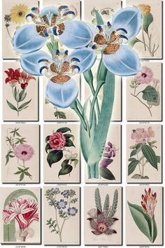 FLOWERS-58 Collection of 262 vintage images Blue Northiana