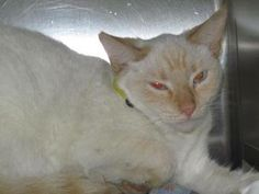 URGENT Pizzazz is RESCUE ONLY!! Pizzazz  A22675916 Listed as a 1 yr old Flame Point Siamese female Kennel: I-26 Status: Find Rescue   Pizzazz is not available for adoption at the shelter and can only be saved by a rescue group. If you would like to save this cat, contact a local rescue and ask them to email RescuePets@HillsboroughCounty.org to place a rescue hold.  Hillsborough County Animal Services 440 N Falkenburg Rd Tampa, FL 33619 (813) 744-5660