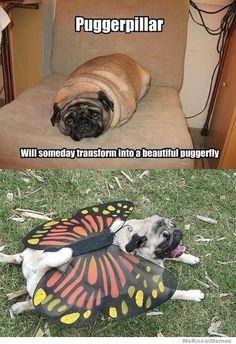 Puggerpillar-I love me a pug!