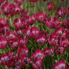 Tulipa Greigii - Little Beauty