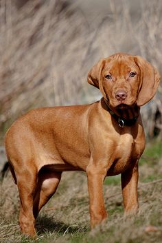 Hungarian Vislas are my favorite dogs. I have had 6 of them in my life and I've loved every single one of them.