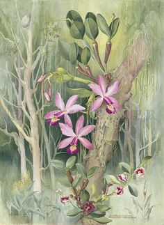 """Plate: 14 Cattleya violacea, from Margaret Mee's """"The Flowering Amazon"""", the Oppenheimer Kew Gardens Edition. Available from Oppenheimer Editions at Joel Oppenheimer Gallery."""