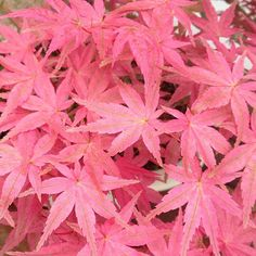 Girly Weed Tumblr This Japanese Maple Is Awesome Looks Like Magic Japanese