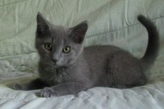 1000+ images about Russian Blue on Pinterest | Russian ...