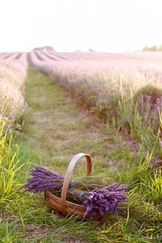 To harvest the lavender