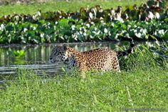 A stunning shot of a male jaguar near Fazenda Porto Jofre | Flickr