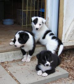 They look like Border Collies to me! ... puppies!