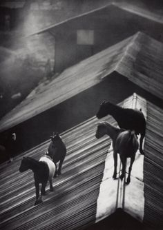 """Not another protest!""..Photo by W. Eugene Smith, 1954..#goats.."