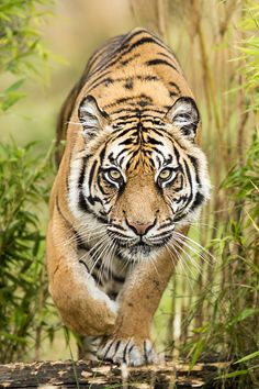 Amur Tiger by Colin Langford on 500px (This cat looks like he's looking directly at you.)