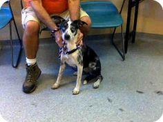 Louisville, KY - Australian Cattle Dog Mix. Meet HOLLY, a dog for adoption. http://www.adoptapet.com/pet/13104832-louisville-kentucky-australian-cattle-dog-mix